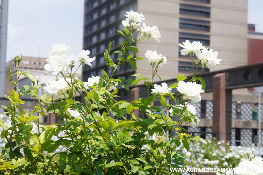 flowers white flowers sunny day flower vector